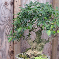 A very old Ficus bonsai