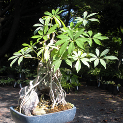 Arboricola schefflera bonsai over rock