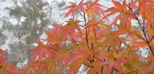 A Japanese Maple showing some fall color