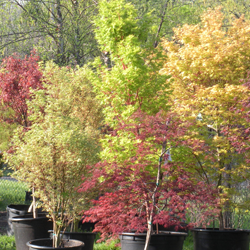 A few of our many Japanese Maples