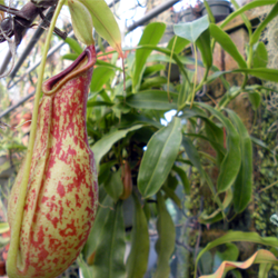 Nepenthes traps